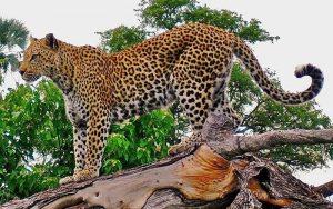 گونه های در حال انقراض